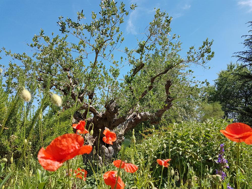 Olivenbaum im Bibel-Garten des Loki-Schmidt-Garten.